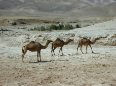 Camels in wilderness